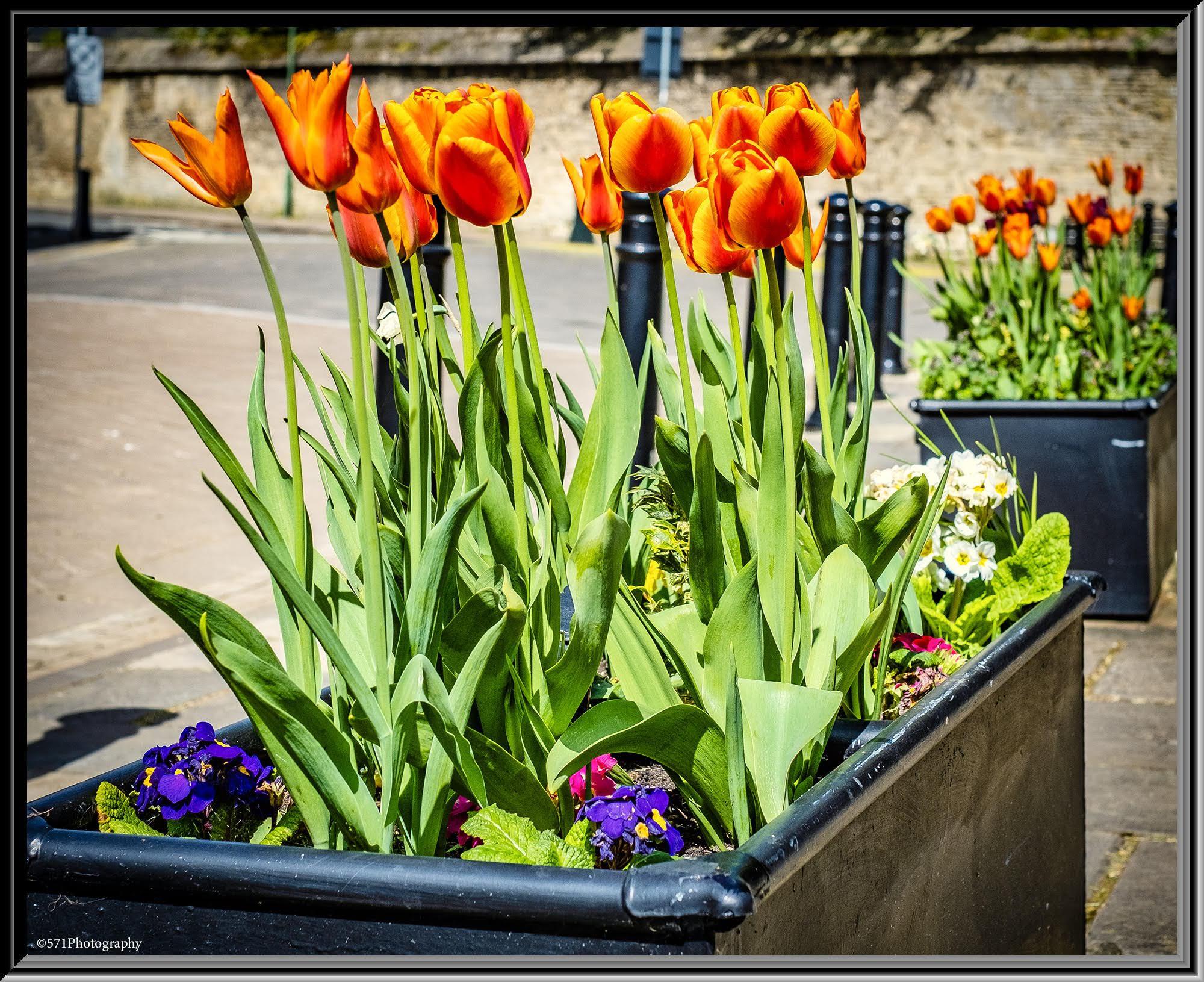 ballerina-tulips-west-market-place