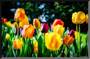 mixed-tulips-abbey-grounds